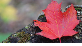 Bright red maple leaf resting on a log